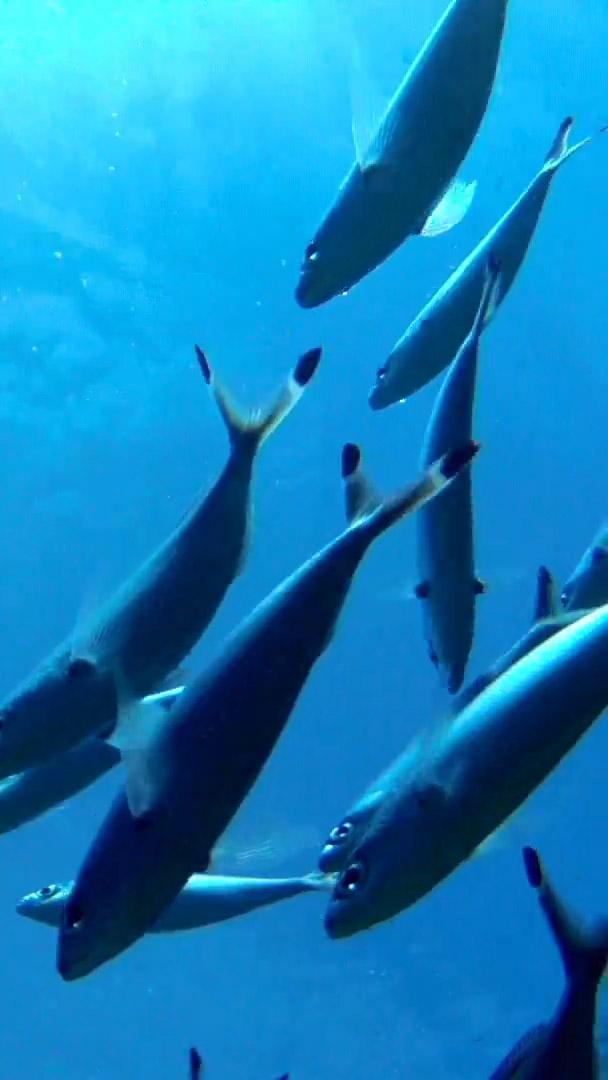 swimming mackerel