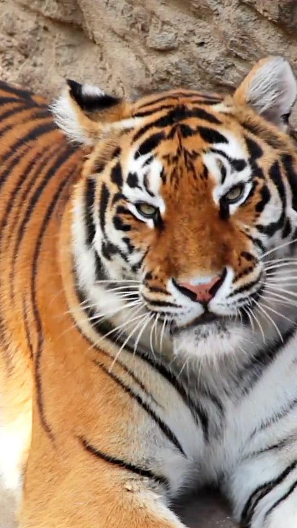 tiger yawning