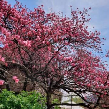 cherry blossom taken by namjoon
